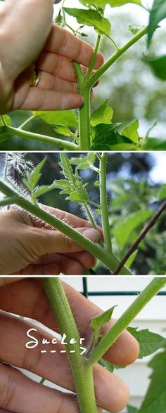 "Snipping off the ""suckers"" from a tomato bush will help the plant to focus its power on the rising fruits instead of the leafs, Growing better, healthier fruit. Clipping any branches off at the bottom of the tomato plant that is reaching the ground helps to ward off insects and mostly disease, such as blights and wilts. #gardening"