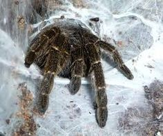 Image result for tarantula crawling out