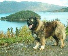 Caucasian Shepherd dog.. Prison guard dog -- Curated by: Desert City ...