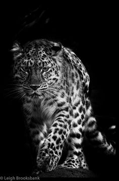 cafemarocchino:  phototoartguy:  Amur Leopard (Explored 10/2/13) (by Mutterleigh)  cafemarocchino  Nice kitty.