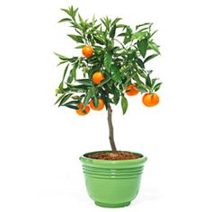 Anybody can send roses--thank your host with this Dwarf Clementine mandarin orange tree instead. It arrives tangy, tart, and ready for planting.