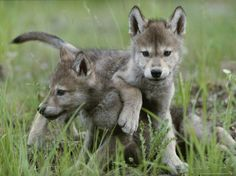 Jim and Jamie Dutcher: eight-week-old gray wolf pups: canis lupus spar with each other.