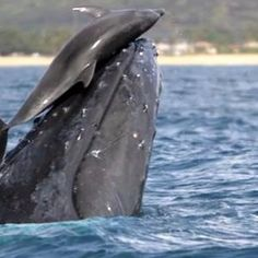 We know dolphins are playful. We know dolphins are smart. We know dolphins have sex for pleasure. We get it – dolphins just wanna have fun. But did you know dolphins like to go on whale rides? Beautiful Creatures, Animals Beautiful, Cute Animals, Wild Animals, Bottlenose Dolphin, Humpback Whale, Orcas, Mundo Animal, Pisces