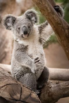 Koala by Helene Hoffman