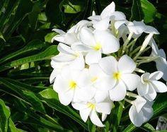 A Plumeria e um arbusto, pertence à família Apocynaceae, nativa da América Tropical, perene, de 2 a 4 metros de altura. Folhas em formato de uma colher.....