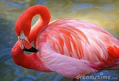 A study in salmon and pinks, a Caribbean Flamingo shows the graceful curves of his plumage.