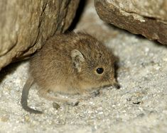 Short-eared elephant shrew — Weighs 1-1.5 ounces (28-42 grams), and has a body length of about four inches. Its fur is gray brown, with a white underside. Its nostrils are at the tip of a flexible snout. Lives in: Namibia, southern Botswana, and the cape of south Africa. These elephant shrews burrow into sandy soil in arid semi-desert, dry grass, or shrubland. – Oh hello little fella... :)