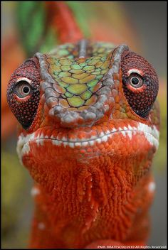 #COLORFUL Close up & personal portrait of Panther Chameleon doesn't show how square its head looks from side angle. #DdO:) MOST #POPULAR RE-PINS - RESEARCH - http://www.pinterest.com/DianaDeeOsborne/animals-of-a-different/ - ANIMALS OF A DIFFERENT. Fairly large species lizard from Madagascar. Females 22-33 cm long, Males to 43. Live ~5 years. Can tolerate night time temp drops into 70s - even some drops into high 60s: As long as daytime temperatures reach 90s F, can take cold weather at…