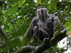 As rain falls in Congo's NouabaléNdoki National Park, a chimp adds to the chorus of excited calls ringing through the forest.