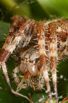 Largish Orb web spider araneus diadematus eating #3 by Lord V, via Flickr