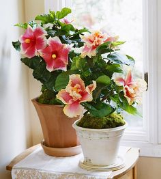 "Tropical hibiscus - a touch of tropics. It forms blooms up to 8"" on a shrubby upright plant that you can train to grow as a tree. Individual blossoms last only a day or 2, but bloom freely from late spring through fall-winter. Keep the soil uniformly moist & give much indoor light to keep it blooming.  Growing Conditions: Bright to intense light; 55-70 degrees F.; keep soil evenly moist  Size: To 6 feet tall and 4 feet wide"