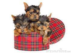 3 cute Yorkies in round Tartan box