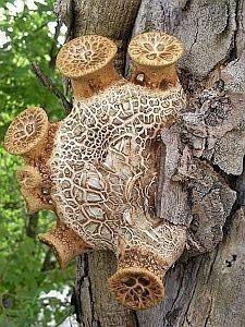 Bagpipe Mushroom (Polyporus Squamosus)