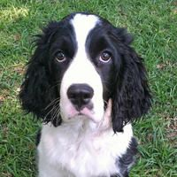 Lucy the Springer Spaniel | Puppies | Daily Puppy