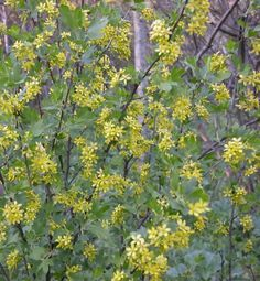 Ribes aureum Seeds £2.75 from Chiltern Seeds - Chiltern Seeds Secure Online Seed Catalogue and Shop