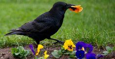 Corvo segura flor em jardim na Alemanha