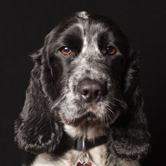 Cat Training With a Clicker Pet Dogs, Dogs And Puppies, Dog Cat, Doggies, Blue Roan Cocker Spaniel, Field Spaniel, English Cocker, English Springer, Cockerspaniel