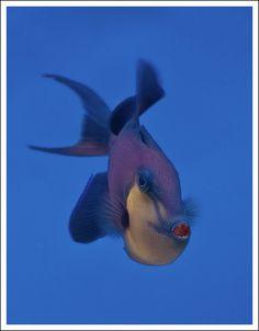 A blue Triggerfish