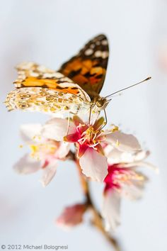 Painted Lady butterfly drinking nectar from an almond flower.