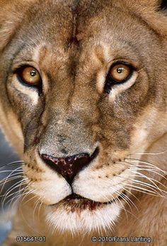 lion- Frans Lanting
