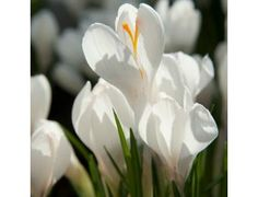 "As a child, the crocus was a symbol of Spring. These are the first flowers I would see and signal winter was over. The ""Jeanne 'd Arc Crocus"" bulb is the best organic white crocus available!"