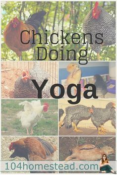 To find happiness, you need to find joy in the little things. Today, I present to you, Chickens Doing Yoga.