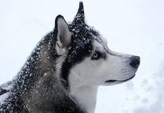 The Siberian Husky is a magnificent pure breed dog. Learn how to properly raise, socialize and train your Husky now. A reputable Siberian Husky breeder is the key to your dog's health and well-being. Siberian Husky Breeders, Siberian Husky Training, Siberian Huskies, Top 10 Dog Breeds, Cold Weather Dogs, Most Beautiful Dogs, Dog Safety, Safety Tips, Husky Puppy