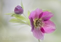 Hellebore by janedibnah #nature #photooftheday #amazing #picoftheday