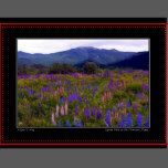 Lupine Field in the Franconia Range Card | Zazzle