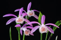 This are pictures of Pleione species and hybrids I am growing. Especially Pleione formosana and it's colorful varieties are easy to grow and have nice flowers. Exotic Flowers, Amazing Flowers, Pretty Flowers, Orchid Flowers, Florida Plants, Orchid Show, Ways To Show Love, Orchidaceae, Flowers For You