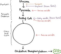Image result for glycolysis diagram with carbohydrates lipids and image result for glycolysis diagram with carbohydrates lipids and amino acids ccuart Images
