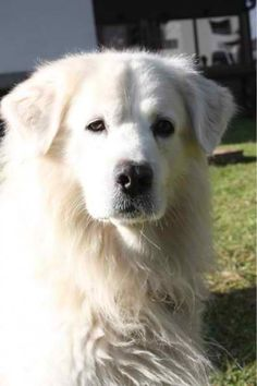 The Slovak Cuvac is a Slovak breed of dog, bred for use as a livestock guard dog. This mountain dog—also known as Slovensky Cuvac, Slovak Chuvach, Tatransky Cuvac and Slovensky Kuvac—is closely related to the Hungarian Kuvasz.