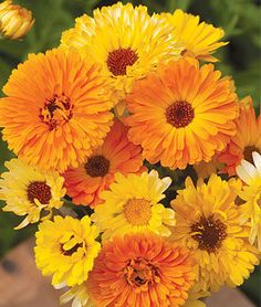Pacific Beauty Mix Organic Calendula Seeds and Plants, Annual Flower Garden at Burpee.com