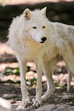 Wolf #wildlife #animal #nature