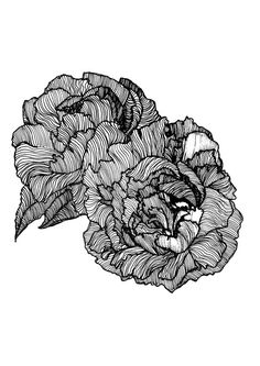 Pair of Peonies Peony Illustration Print // by StaggIllustration