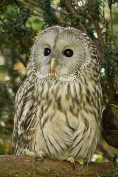 Ural Owl / Strix uralensis: The Ural owl is one of the larger members of the wood owl family. Found primarily in loose, mature, mixed forests from Scandinavia east to Japan, the Ural owl is named for the mountains that share much of its range.