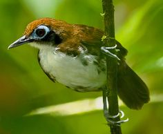 Bicolored Antbird (Gymnopithys bicolor) by Chris Jiménez