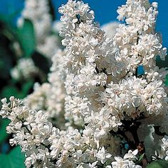 Big Double Blooms of Purest White with Indescribable Fragrance! Fiala Remembrance Syringa vulgaris Lilac Shrub
