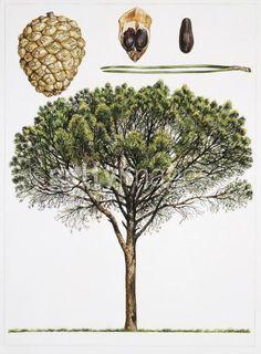 Pinheiro-Manso (Pinus pinea L.)