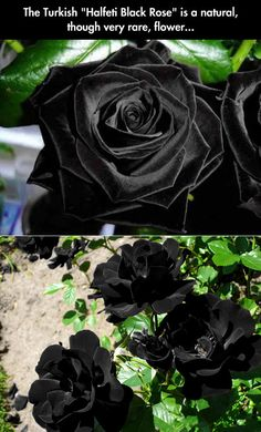 Halfeti Black Rose.
