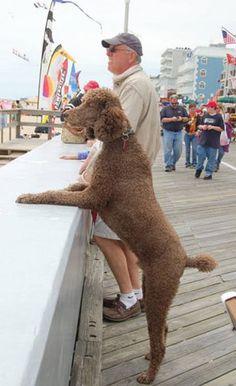 standard poodles | Royal Standard Poodles-Brown Carlo