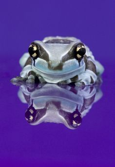 Amazon milk frog by Angi Nelson