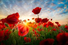 red field poppies, Papaver rhoeas, on by Thomas Froemmel Exotic Flowers, Wild Flowers, Beautiful Flowers, Fuerza Natural, Remembrance Day, Red Poppies, Amazing Nature, Flower Art, Flower Power