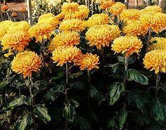 How to Prune Chrysanthemums thumbnail
