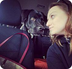 3/26/17 Brooklyn, NY - Labrador Retriever/Mastiff Mix. Meet Duke, a dog for adoption. http://www.adoptapet.com/pet/17832878-brooklyn-new-york-labrador-retriever-mix