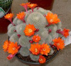 Viveros Vangarden: Cactus, Echeverias y Aloes varios