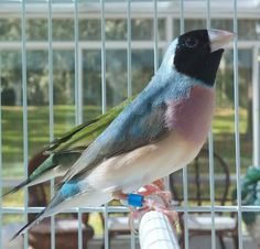 Largest Selection in the USA - Blue Lady Gouldian Finch