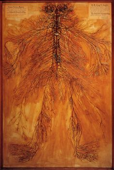 This remarkable work of art isn't a painting. It's a dissection of the entire human nervous system, removed from the body and left intact. The dissection was done by two students at the Kirksville Osteopathic College in the 1920's.  Image courtesy of the Still National Osteopathic Museum, Kirksville Missouri