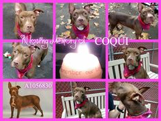 KILLED 11-8-15 Manhattan Center My name was COQUI. My Animal ID # was A1056830. I was a female brown am pit bull ter mix. The shelter thinks I am about 2 YEARS I came in the shelter as a OWNER SUR on 11/03/2015 from NY 10460, owner surrender reason stated was PERS PROB.