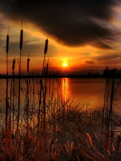 Cattails in the Sunset